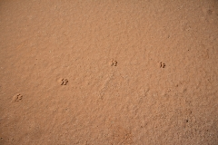 24 Mulliana Creek dingo tracks