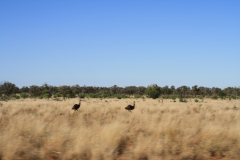 40 Nockatunga emus
